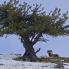 Big horn sheep and tree