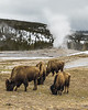 Bison grazing in front of Old Faithful Geyser.