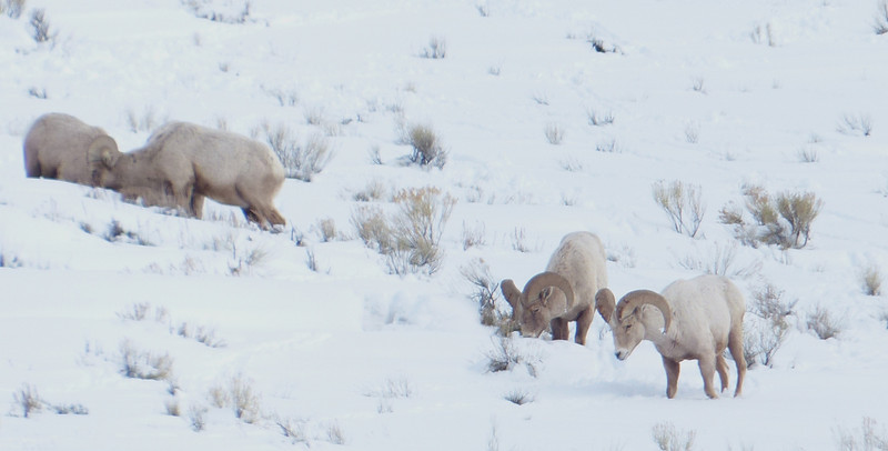 National Elk Refuge 023
