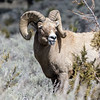 Big Horn Sheep (Ovis canadensis)