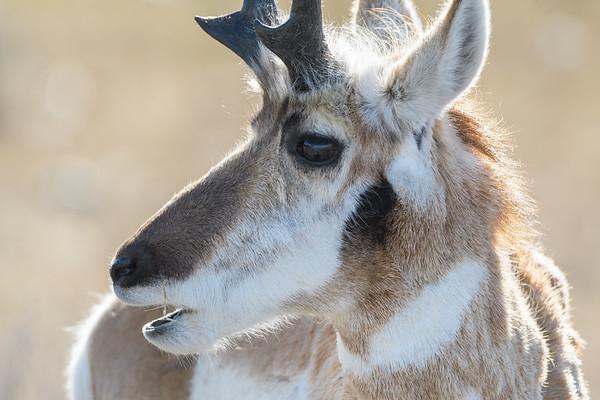 North American Pronghorn (Antilocapra americana)