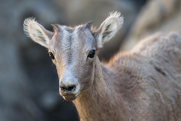 Bighorn Sheep Lamb Portrait I