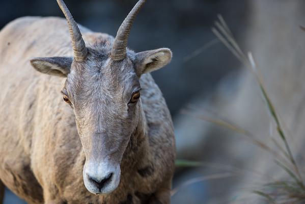 Bighorn Sheep Ewe Portrait I