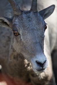 Bighorn Sheep Ewe Portrait II
