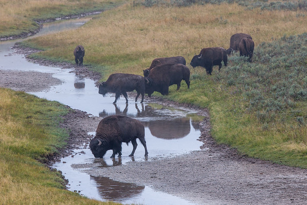 Herd Crossing