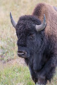 Bison Bull III