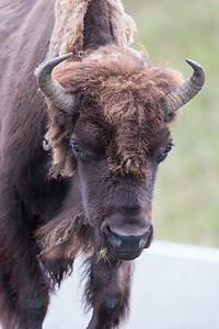 Bison Bull II