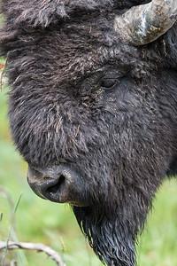 Bison Bull I