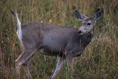 Blacktail Porttrait I