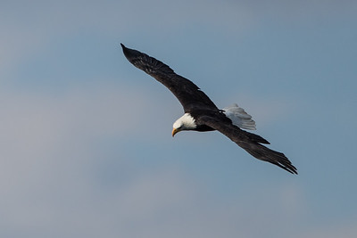 Mature Bald Eagle Soaring
