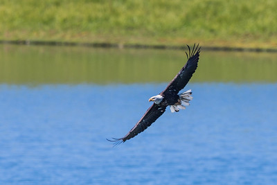 Mature Bald Eagle II