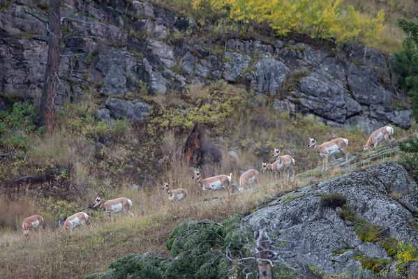 Pronghorn Descent