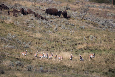 Pronghorn with Bison