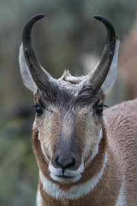 Pronghorn Portrait I