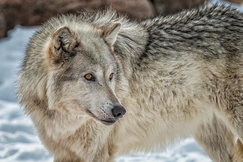 Grey Wolf female