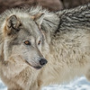 Grey Wolf female