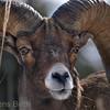 Bighorn sheep ram, Yellowstone, February 2010