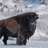 A female Bison at -26 °C (-15 °F), Yellowstone, February 2010.