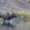 Elk at Yellowstone