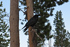 Here's a raven at the Old Faithful parking lot.