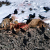 A coyote scavenging from a carcass,of an elk calf (killed the previous night by a puma (mountain lion)). Yellowstone February 2010