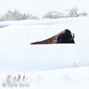A Bison sleeping in the snow at about -10 °C (0 °F), Yellowstone, February 2010.