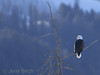 A <b>bald eagle</b> (<i>Haliaeetus leucocephalus</i>) overlooking Lamar valley while the sun sets. Yellowstone, February 2010.