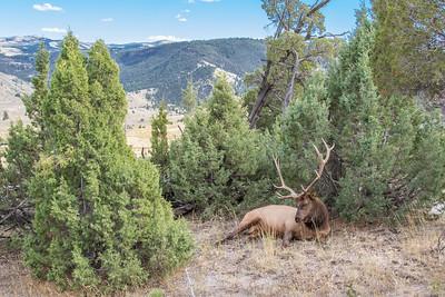 Mammoth hot springs bull elk