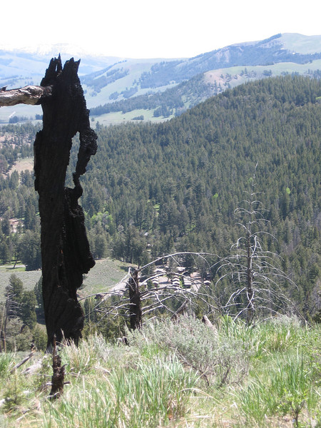 From Lost Lake, I left the trail and bushwacked over a hill and then picked up another trail going back to the petrified tree parking lot. Here's a remnant of a forest fire, presumably the great fire of 1988. The cluster of buildings down in the valley is Roosevelt Lodge, where Flora is working.