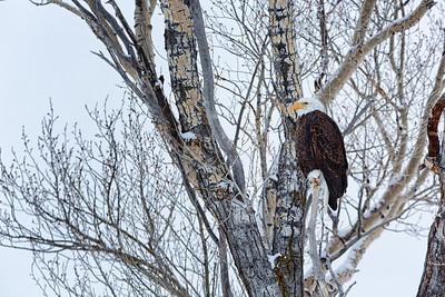 Bald eagle, Grand Teton