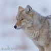 A <b>coyote</b> (<i>Canis latrans</i>) on its way to the daily evening hunt. Yellowstone, February 2010.