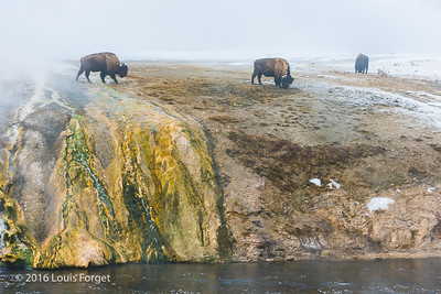 Bisons near the Firehole River, Yellowstone National Park
