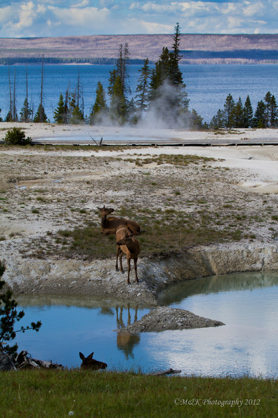 A small Bull Elk Calf enjoys the thermal features as mom looks on, with Yellowstone Lake in the background.