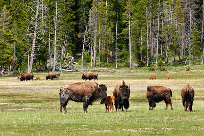 May-June is calving season for the Yellowstone bison herds.