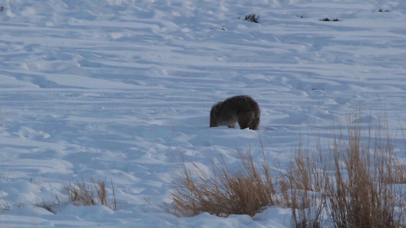 A <b>coyote</b> (<i>Canis latrans</i>) scanning a field for sub-snow rodents after the sun has lowered itself behind the surrounding mountain ranges. Yellowstone, February 2010.