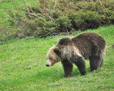 Bear, Grizzly, Near Sylvan Pass, Yellowstone NP.
