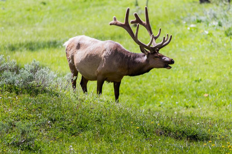 Summer Bull Elk with antlers in Velvet.