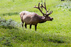 Summer Bull Elk with antlers in Velvet.