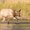 Young Elk crossing the Madison River