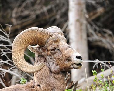 Bighorn Sheep, near Sylvan Pass, Yellowstone NP