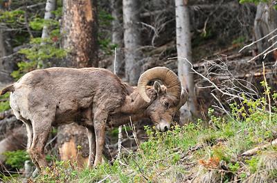 Bighorn Ram, near Sylvan Pass, Yellowstone NP.
