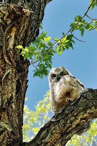 Baby Great Horned Owl,  Nevada City, Montana