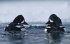 Two male <b>Barrow's goldeneye</b> (<i>Bucephala islandica</i>) together in Lamar river in Yellowstone. -29 °C (-20 °F), February 2010.  <i>Disturbing elements without relations to the main subject, may have been removed in order to enhance the artistic merits of this image.</i>