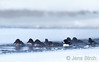 A male <b>Barrow's goldeneye</b> (<i>Bucephala islandica</i>) together with a mix of Barrow's and <b>common goldeneye</b> (<i>Bucephala clangula</i>) females in Lamar river (almost frozen); -29 °C (-20 °F) air temperature, February 2010, Yellowstone.