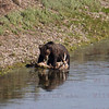 Bear with Elk, Yellowstone, WY 08-16-2017