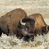 Bull Bison and Cow