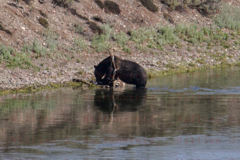 Bear eating Elk, Yellowstone, WY 08-17-2017