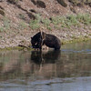 Bear eating Elk, Yellowstone, WY 08-17-2017