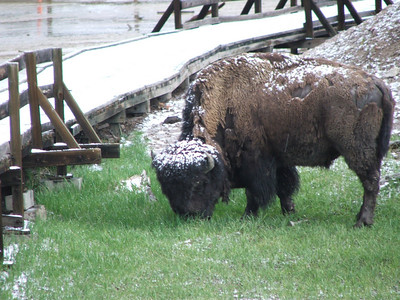 Bison with snow on its head