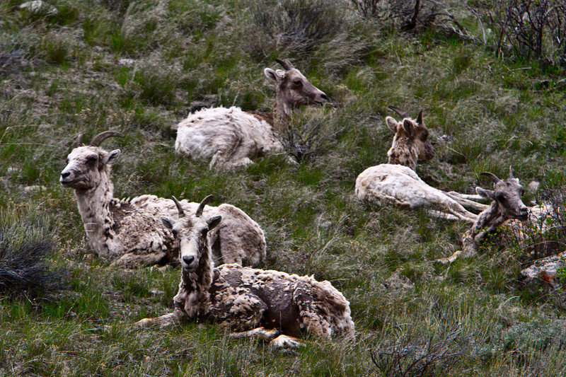 Big Horn Sheep in Jackson, Wyoming